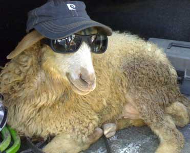 فواید تمامی قسمت های خوردنی گوسفند