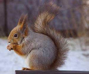 نگهداری از سنجاب