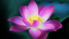 بک گراندگل نیلوفر آبی یا لوتوس (Lotus Flower)