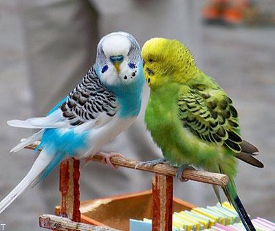 نگهداری از مرغ عشق + تعیین جنسیت نر و ماده در مرغ عشق