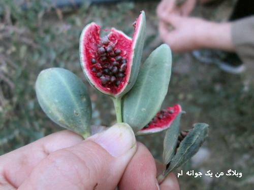 هندوانه ابوجهل چیست؟