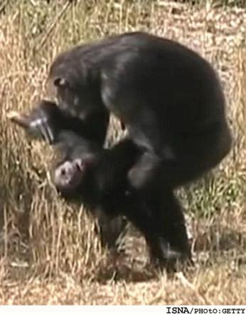 شامپانزهها مانند انسانها سوگواری میکنند.