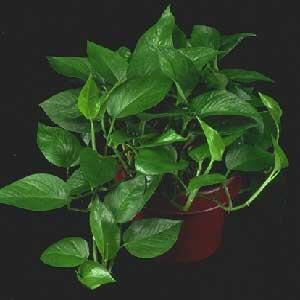 نگهداری و پرورش گل پوتوس