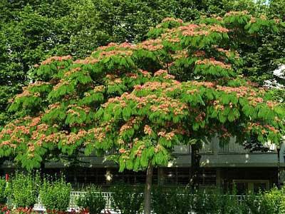 شرایط پرورش و نگهداری درخت ابريشم