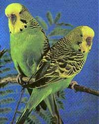 پرورش و نگهداری از پرنده مرغ عشق