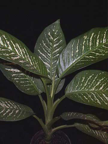 دیفن یکی از سمی ترین گیاهان