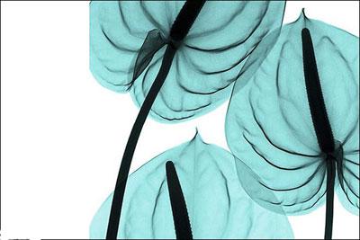 شرایط نگهداری گل آنتوریوم