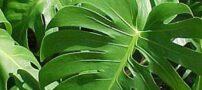 نگهداری و پرورش گل برگ انجیری