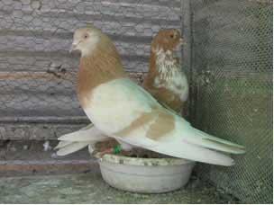 پرورش و نگهداری از كبوتر