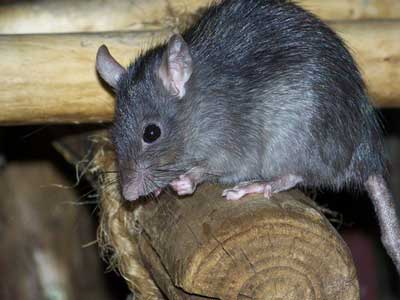آشنایی با جوندگان، موش ها یا رت ها