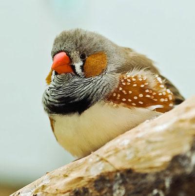 شرایط نگهداری پرنده زیبای فنچ
