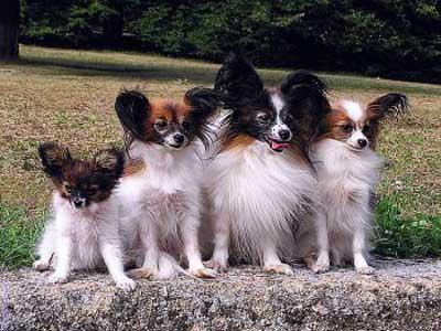 آشنایی با سگ پاپیلون