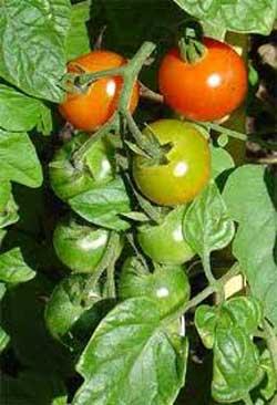 آموزش کاشت گوجه فرنگی در منزل