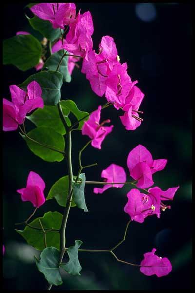 نگهداری و پرورش گل كاغذي