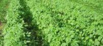 آشنایی با گیاه کنف
