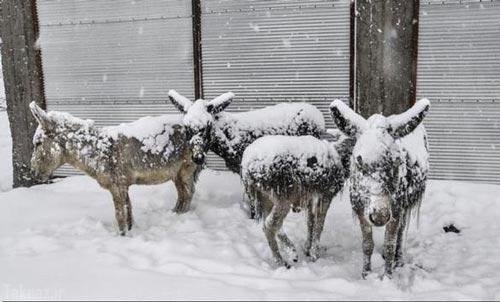 تصاویر ناراحت کننده از الاغ های یخ زده از شدت سرما