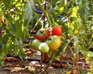 کشت گوجه فرنگی در منزل و گلخانه