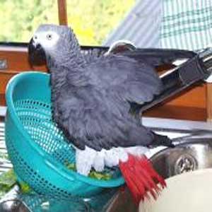 نکاتی در مورد خرید طوطی کاسکو