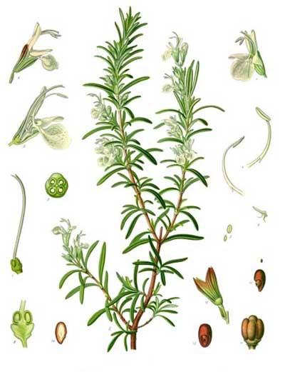 گیاه رزماري (رومارن)
