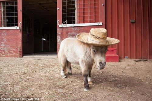 اسب پا کوتاه دیده بودید ؟ + تصاویر