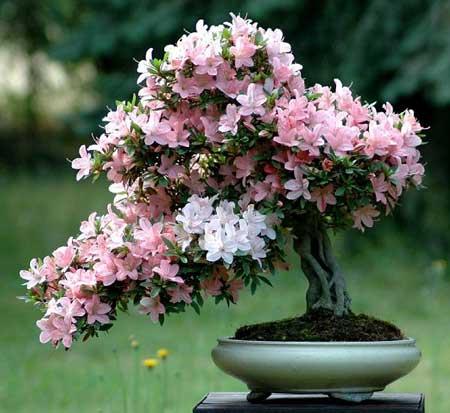 پرورش و نگهداری گل آزاله