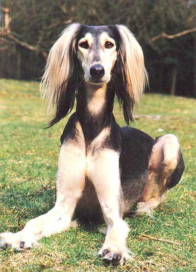 آشنایی با سگ سالوکی