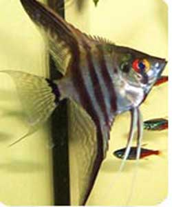 پرورش و نگهداری ماهي آنجل