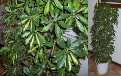 پرورش و نگهداری درخت شفلرا