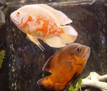 شرایط نگهداری ماهی اسكار