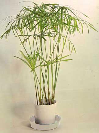 شرایط نگهداری از گیاه نخل مرداب (پنجه كلاغي)