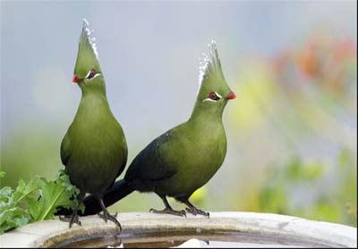 پرندهای زیبا و عجیب در آفریقا + عکس