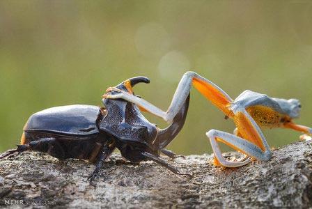 عکس های جالب و دیدنی سوسک سواری قورباغه