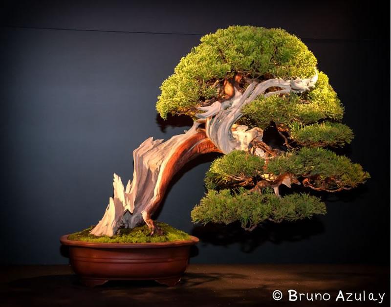 تصاویر رویایی از درختچه های بونسای