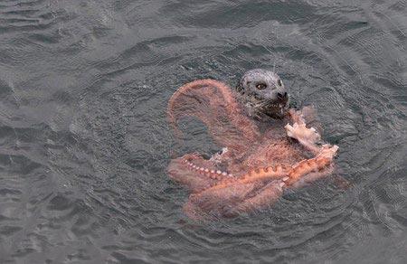 تصاویر دیدنی از جدال یک شیر دریایی با اختاپوس
