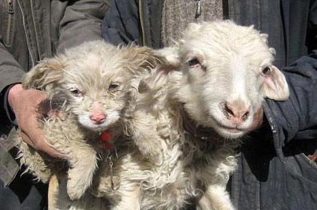 عکس سگی که از گوسفند متولد شد