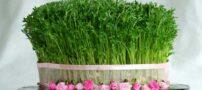 آموزش و روش کاشت سبزه عيد نوروز