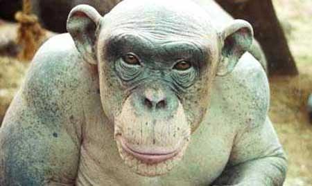 میمونی که بدنش مو ندارد + عکس