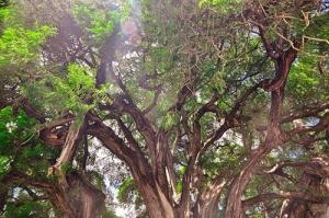 تصاویر دیدنی از یک درخت 2000 ساله در مکزیک