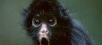 میمونی که یک شبه ثروتمند شد + عکس