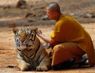 عکس های جالب و دیدنی از معبد ببر ها در تایلند