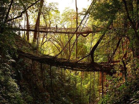 پلی که از جنس ریشه درختان است + تصاویر