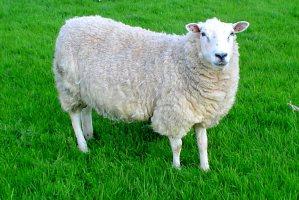 این گوسفند جوگیر شده است !+ عکس
