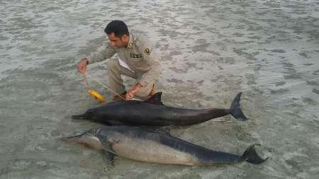 دلفین ها در سواحل جاسک به گل نشستند + عکس