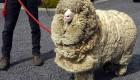 عکس شرک معروف ترین گوسفند