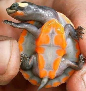 عجیب ترین لاک پشت های دنیا (عکس)