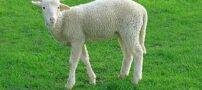 کافی شاپی که محل زندگی گوسفندان است (عکس)