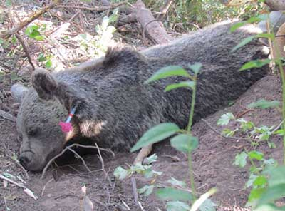 نجات خرس قهوهای از تله شکارچی