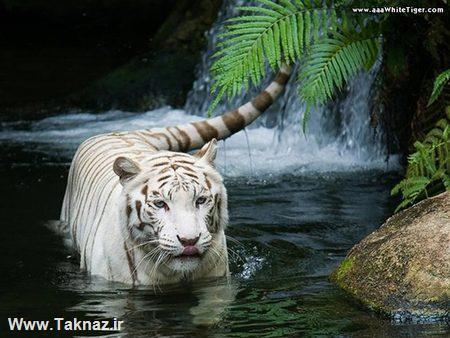 عکس های دیدنی از ببر بنگال