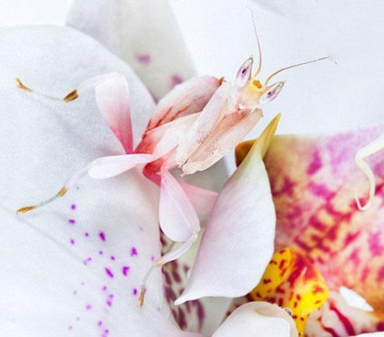 تصاویر هایمانوبیس کورونیتس زیباترین حشره جهان