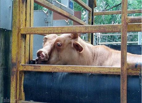 گاوی که دوچهره دارد (عکس)